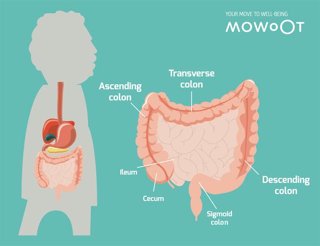Partes del intestino grueso